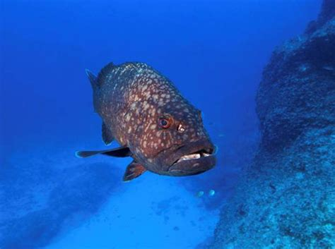grouper hawaiian creature monument mcfall greg credit gov education