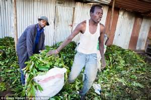 Journey of khat from the fields of Kenya where it is