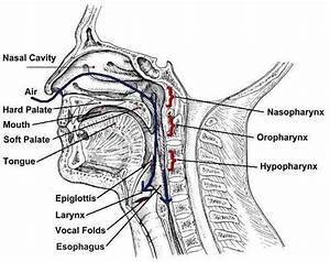 Mouth And Throat Anatomy Diagram