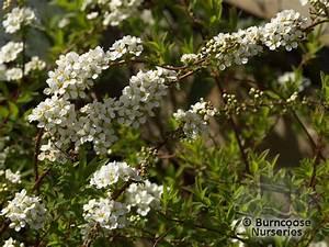 Spiraea Cinerea Grefsheim : spiraea cinerea 39 grefsheim 39 from burncoose nurseries ~ Orissabook.com Haus und Dekorationen