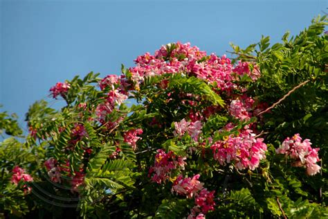 tree with pink flowers name cassia javanica pink shower tree pink lady pink apple blossom tree black diamond images