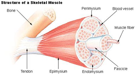 what are the cells that form skeletal connective tissue called muscles