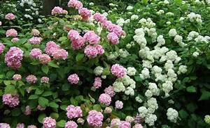 Sind Hortensien Winterhart : hortensien richtig schneiden garten garten hortensien und garten ideen ~ Orissabook.com Haus und Dekorationen