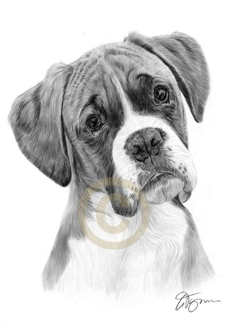 details  boxer pencil drawing print   signed