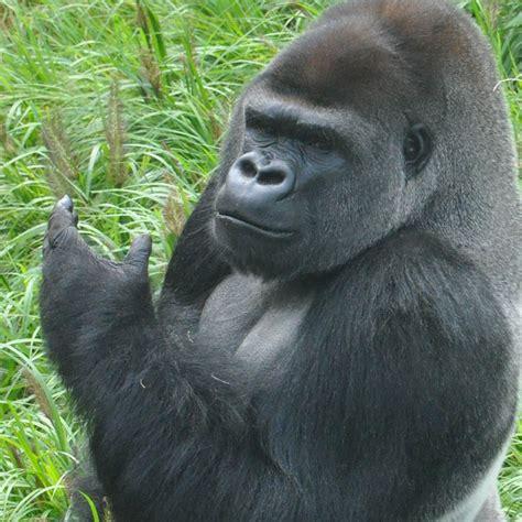 gorilla zoo gorillas louisville meet cecil