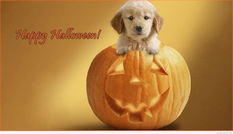 Golden Retriever Wallpaper Aesthetic Lock Screen Puppies by Wallpapers Con Calabazas De