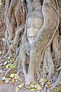 Wurzeln Im Kopf Berechnen : buddha kopf im banyan baum wurzeln stockfoto colourbox ~ Themetempest.com Abrechnung