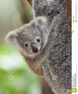 Australian Common Koala Bear Baby Stock Image - Image ...