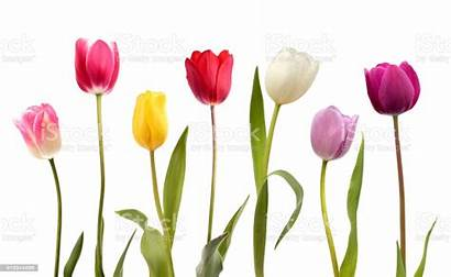 Tulip Flowers Different Seven Background Tulips Flower