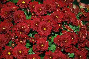 Meridian Deep Red Chrysanthemum (Chrysanthemum 'Meridian