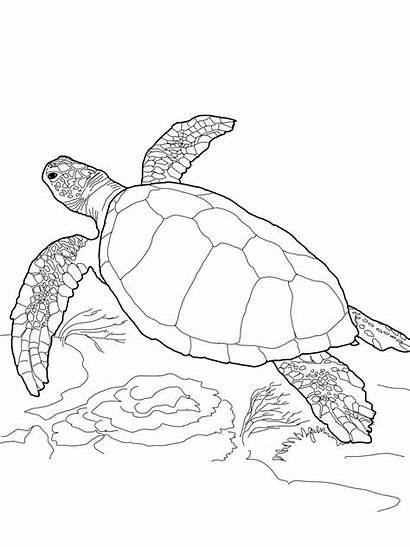 Coloring Pages Turtle Turtles Printable