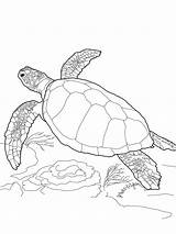 Coloring Pages Turtles Turtle Printable sketch template