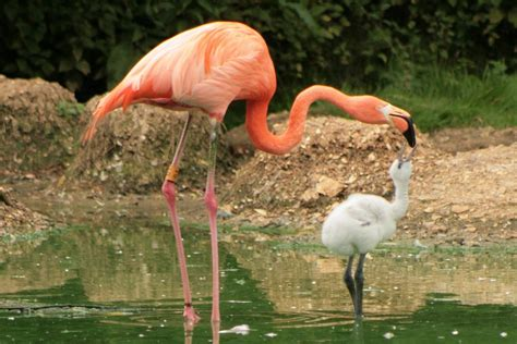 Baby Flamingo Bird