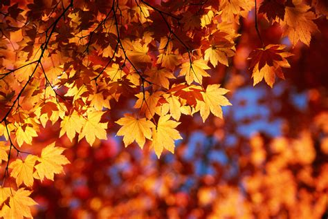 pictures of autumn leaves autumn leaves
