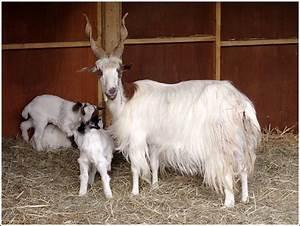 Girgentana Ziege Die Capra Hircus Stammt Pictures