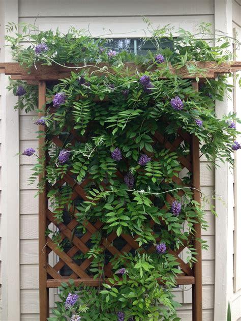 wisteria trellis design wisteria on backyard trellis wisteria pinterest