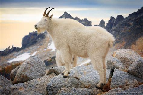 jeannette walls  mountain goat