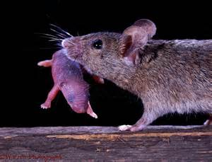 Baby House Mouse