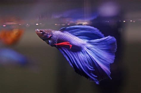 beta fish betta fish wallpapers hd download