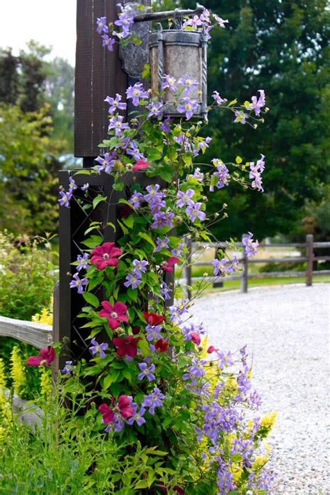 17 Best Images About Clematis On Pinterest Container