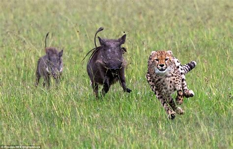 cheetah runs   life   warthogs fight