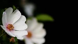 Schwarz Weiß Kontrast : kostenlose foto bl hen schwarz und wei wei fotografie blatt blume bl tenblatt ~ Frokenaadalensverden.com Haus und Dekorationen