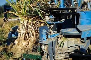 Planter Ail Rose : la culture de l 39 ail rose de lautrec photographe toulouse lionel ruhier ~ Nature-et-papiers.com Idées de Décoration