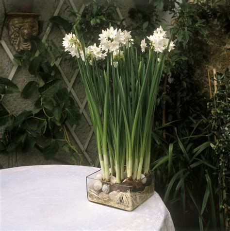grow paperwhite flowers forcing paperwhite bulbs