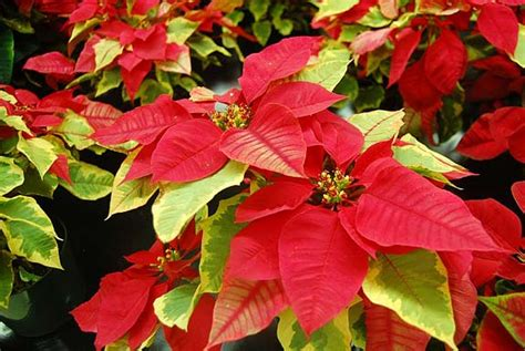 poinsettia plant images caring for poinsettia malamalama the magazine of the