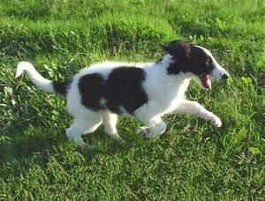 17 Best images about Borzoi , Russian Black Terrier ...