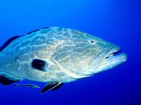 grouper goliath fish endangered critically teeth classified status jaw sealife underwater ocean sea