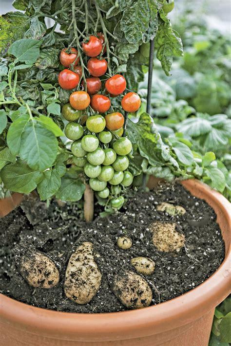 ketchup  fries plant grow tomatoes  potatoes