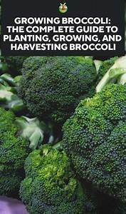 Growing Broccoli  The Complete Guide To Planting  Growing