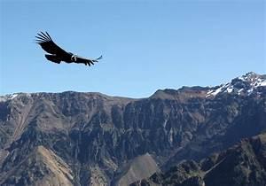 Largest Living Bird  Andean Condor