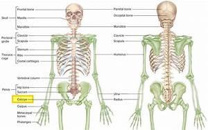 Coccyx bone anatomy, tailbone pain, fractured tailbone ...  Coccyx