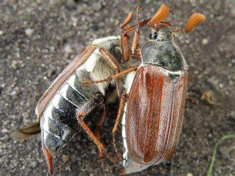 Kfer Anime Wallpaper - bilder f 252 r das handy insekten k 228 fer kostenlos