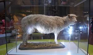 ¡Se cumplen 20 años de la oveja Dolly!