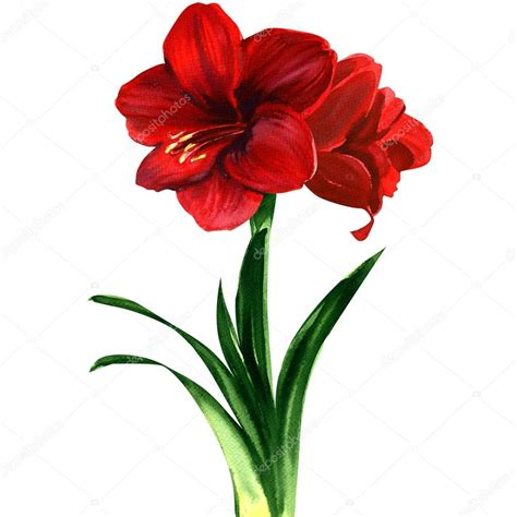 fiore rosso fiore rosso amaryllis hippeastrum foto stock