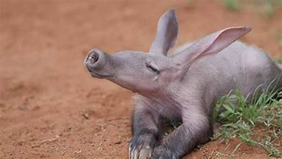 Aardvark Tanah Hewan Yang Aardvarks Jenis Pemakan