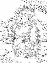 Porcupine Coloring North American Pages Printable Animal Sheets Porcupines Supercoloring Animals Drawing Furry Template Crested Farm Colouring African Colors Getcoloringpages sketch template