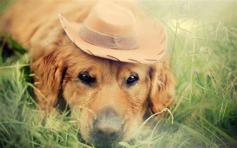 dog animals grass labrador retriever wallpapers hd