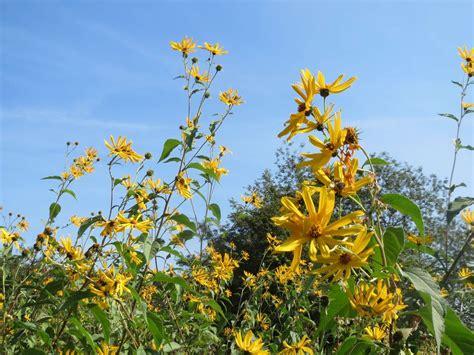 Topinambur Wunderknolle Und Blütenpracht Im Garten Plantura