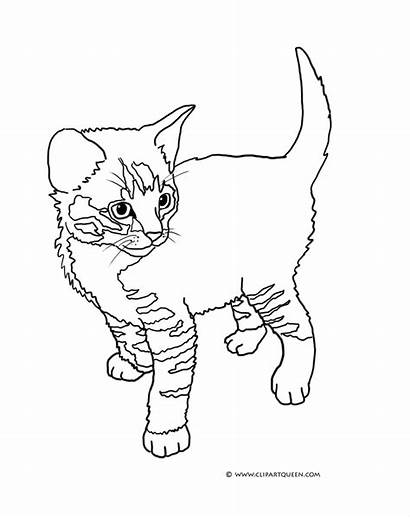 Coloring Kitten Cat Tabby Colouring Cats Kittens