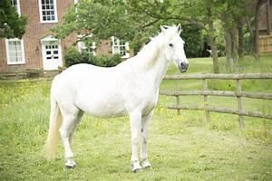 White Horse Standing