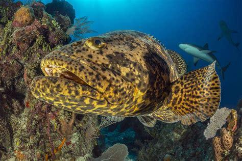 grouper goliath epinephelus itajara fish