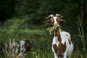 Eating Habits Of Goats  They U0026 39 Re Different From What You