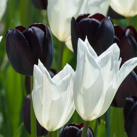 tulip bulbs item 1500 of for sale