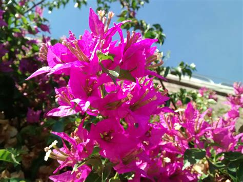 fiori con la u bouganvillea pianta ricante arreda e colora