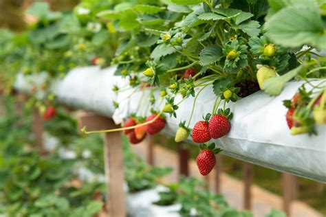 planting strawberries how to grow strawberries regenerative com