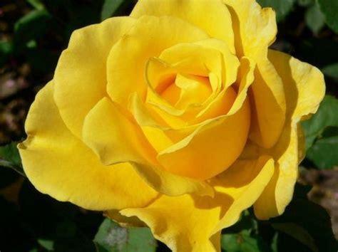 fotos de rosas impresionantes las fotos de rosas mas bonitas
